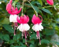 Różowy i biały fushia kwitnie w kwiacie Obraz Royalty Free