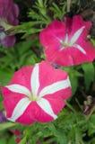Różowy i biały hybryd pustyni róży kwiat (Inni imiona są pustynni Zdjęcia Royalty Free
