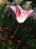 Różowy i biały tulipan przeciw rozmytemu tłu Zdjęcia Stock