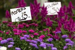 Różowy i fiołkowy aster kwitnie tło Zdjęcie Royalty Free
