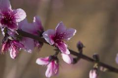 Różowy i oszałamiająco brzoskwini okwitnięcie Zdjęcie Stock