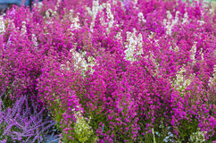 Różowy i purpurowy wrzos kwitnie w ogródzie fotografia royalty free