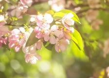 Różowy jabłczany kwiatu kwitnienie Zbliżenie i koloru filtr Piękno nat Zdjęcie Stock