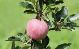 Różowy jabłko na gałąź, naturalny rolnika jedzenia pojęcie zielony tło, miękka ostrość głębokość pola płytki Zdjęcia Royalty Free