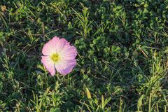 Różowy jaskier, oenethera speciosa w trawie, koniczynie i świrzepach, Fotografia Stock