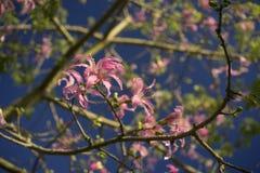 Różowy jedwabiu drzewo fotografia stock