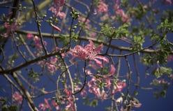 Różowy jedwabiu drzewo zdjęcie stock