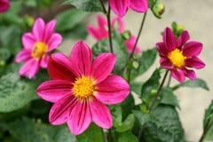 różowy jest dahlia Fotografia Stock