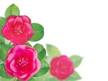 Różowy kameliowy anemon formy kwiatów kąt obrazy royalty free