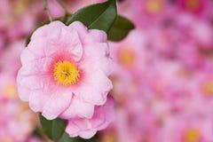 Różowy kameliowy kwiat fotografia royalty free
