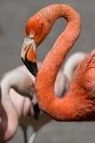 Różowy Karaibski flaming idzie na wodzie (Phoenicopterus ruber) Różowy flaming idzie na bagnie Zdjęcia Royalty Free
