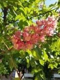 Różowy kasztan kwitnie w wiośnie obraz stock