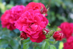 Różowy kolor róż tło Obraz Stock