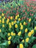 Różowy koloru żółtego i purpur tulipanowy pokaz zdjęcie royalty free