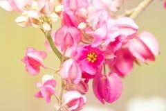 Różowy Konfederacyjny winograd, Meksykański pełzacz Zdjęcie Stock