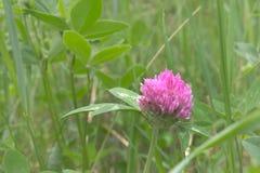 różowy koniczyn Głowa kwiat zbliżenie Zdjęcie Royalty Free