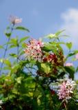 Różowy Kopsia kwiat i blured niebo zdjęcia stock