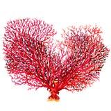 Różowy koral odizolowywający na białym tle Zdjęcie Stock
