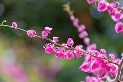 Różowy koralowy winograd, meksykanina pełzacz lub łańcuch miłość brooming wewnątrz zdjęcie royalty free