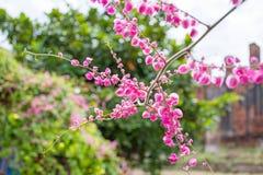 Różowy koralowy winograd, meksykanina pełzacz lub łańcuch miłość kwitnie wewnątrz zdjęcie stock