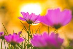 Różowy kosmos kwitnie przy zmierzchem, miękka ostrość obrazy stock