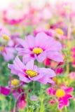 Różowy kosmos kwitnie, stokrotki okwitnięcia kwiaty w ogródzie zdjęcie royalty free