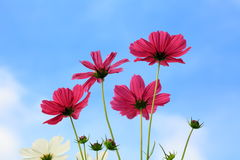 Różowy kosmos kwitnie w łąkowej zakończenie fotografii w ranku Zdjęcia Royalty Free