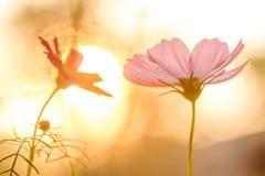 Różowy kosmos na polu w zmierzchu zdjęcie stock