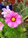 Różowy kosmos w pełnym kwiacie obraz stock