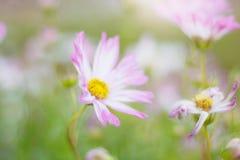 Różowy kosmos z kolorowym zdjęcie stock