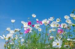 Różowy kosmosu kwiat na błękicie Fotografia Royalty Free