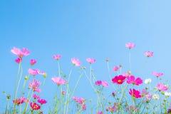 Różowy kosmosu kwiat na błękicie Zdjęcie Royalty Free