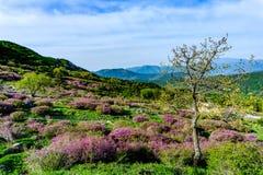 Różowy królewski azalia kwiat, cheoljjuk w Korea językowym kwiacie ar lub Zdjęcie Royalty Free