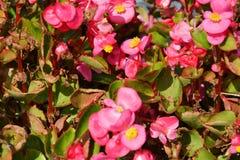różowy kwiaciaste tło Zdjęcia Royalty Free