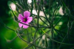 Różowy kwiat łapać w pułapkę w gałąź Zdjęcia Stock