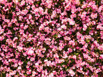 różowy kwiat abstrakcyjnych tło Obrazy Stock