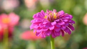 Różowy kwiat cynie zbiory