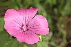 Różowy kwiat drzewny ślaz przeciw tłu zielona trawa Obraz Royalty Free