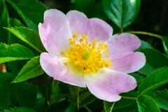 Różowy kwiat jest prześladowanym różanego zdjęcie royalty free