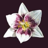różowy kwiat lilii obrazy royalty free