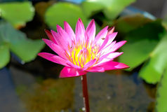 różowy kwiat lotosu piękne Obraz Stock