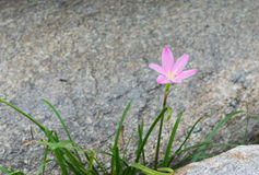 Różowy kwiat między skałami Obraz Royalty Free