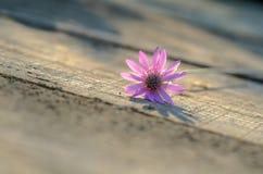 Różowy kwiat na białym drewnianym tle fotografia stock