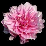 Różowy kwiat na czerni Zdjęcie Stock