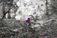 Różowy kwiat na grayscale zamazanym tle obrazy stock