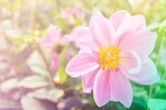 Różowy kwiat na ogródzie i świetle słonecznym Obraz Stock