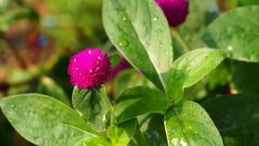 Różowy kwiat na zielonym liściu Obraz Royalty Free