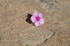 różowy kwiat na ziemi z pęknięciami zdjęcie royalty free