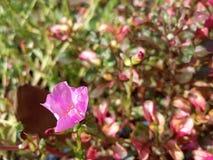 Różowy kwiat przy ogródem obraz royalty free