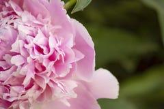 Różowy kwiat, przygotowywający dla wiosny Fotografia Stock